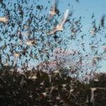 Carlsbad Caverns, rondreis door West-Amerika, VS, New Mexico, Mexicaanse vleermuis
